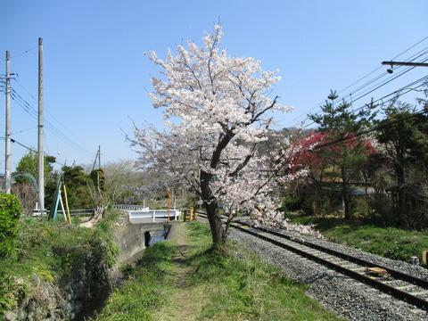 111桜の小道6