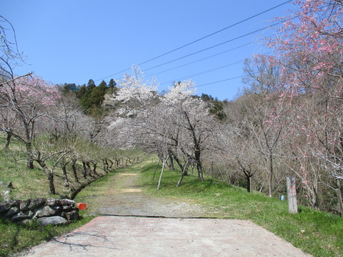 128通り抜けの桜1
