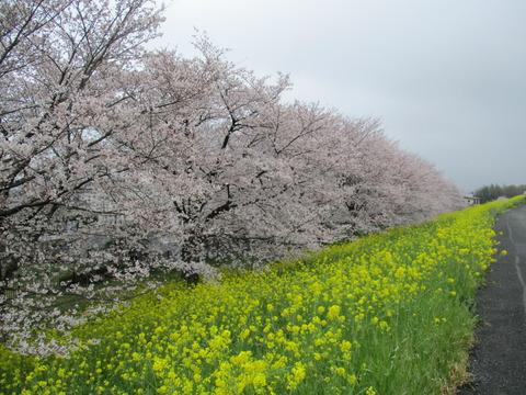 110熊谷桜堤16
