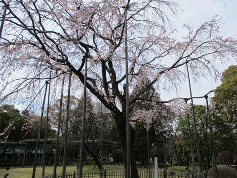 63しだれ桜3