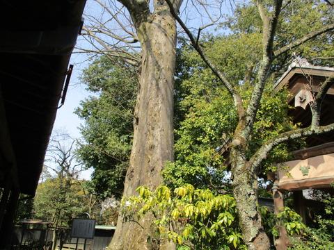 207石川家のケヤキ2