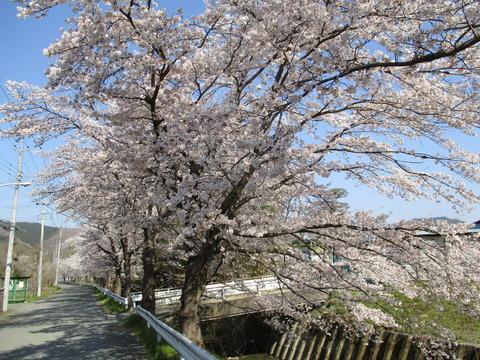 67井戸の桜並木3