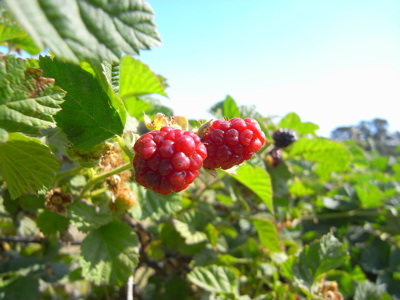 berrypicking18