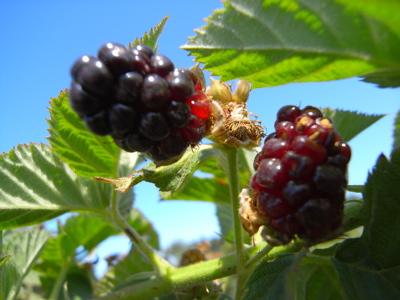 berrypicking17