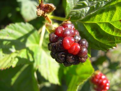 berrypicking19
