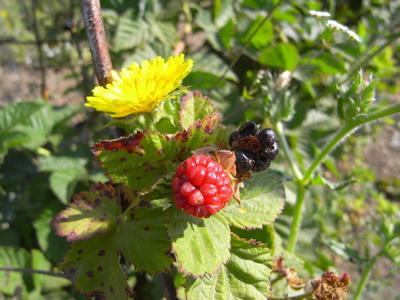 berrypicking16