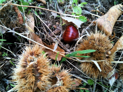 chestnuts4
