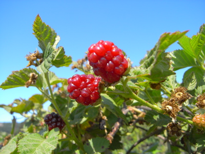 berrypicking12