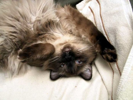 Fluffy-Upside-Down-Cat-Caturday-500x375