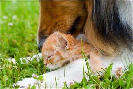 when_kitten_meets_dog_07