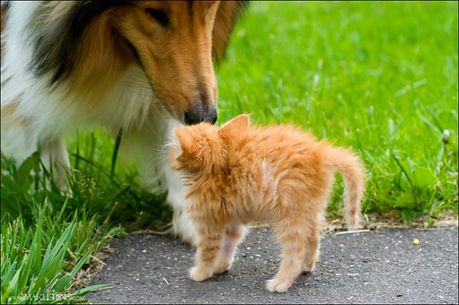 when_kitten_meets_dog_04