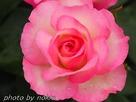 2017bara-pink6