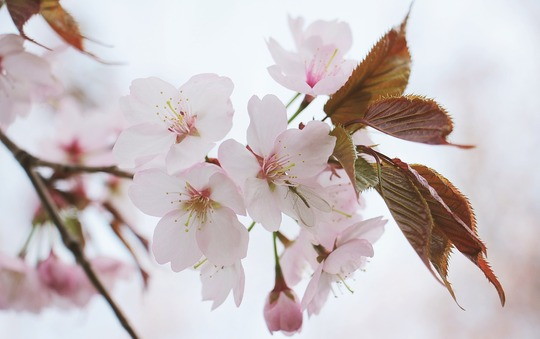 japanese-cherry-trees-2193226_1280