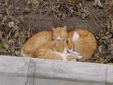 3匹の寝るネコたち。