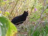 草むらの中の黒ネコ。