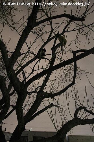 ネコのなる木。