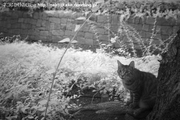 2014072705赤外線で外猫。