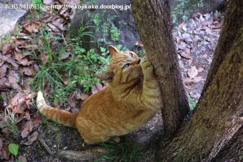 2016051403爪とぎの木。