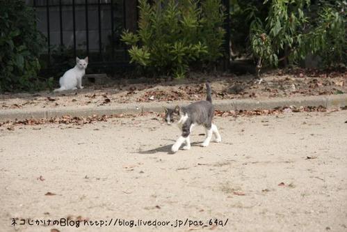 出会い。その2 キジ白子ネコ 白子ネコ