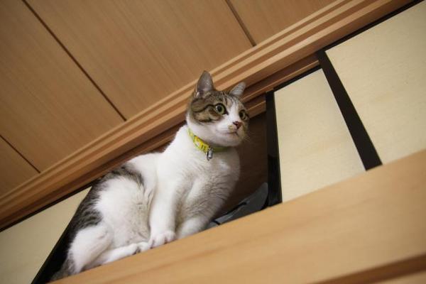ネコを天袋に押し込んで。シマ1