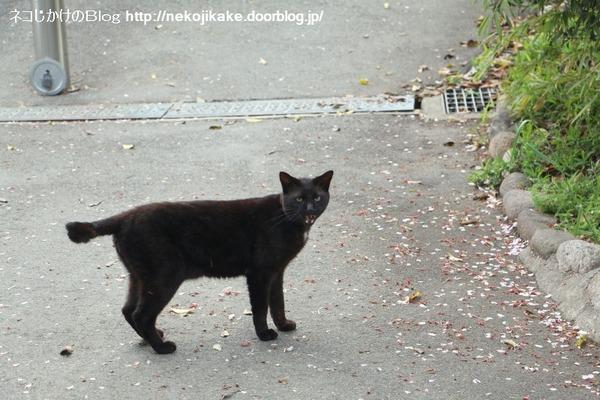 2016041405鳴く猫。2