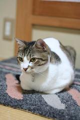 ネコたるもの。シマ