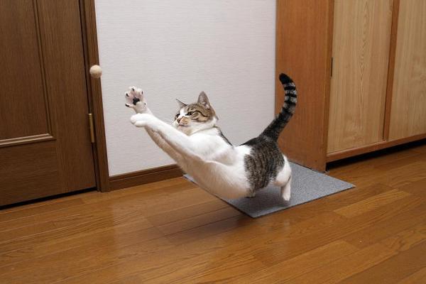 猫猫猫猫。シマ1
