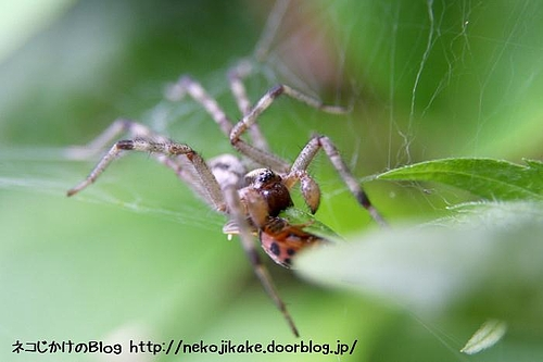 クモ、お食事中。