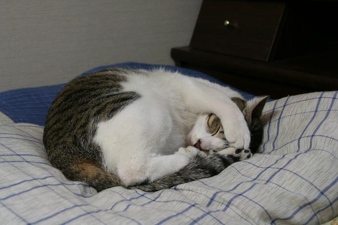 寝る寝る寝る。シマ
