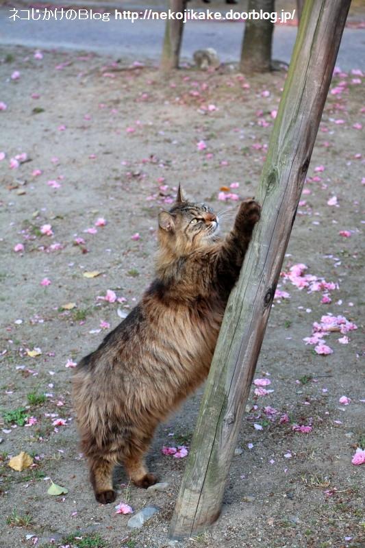 2015042505桜散る季節。4