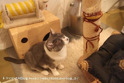 キャッテリアクラウドナインのネコ、ムール。