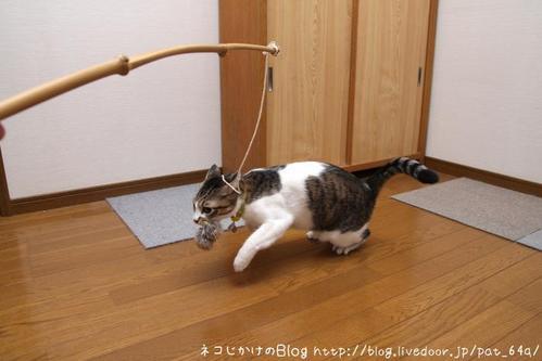 ネコは動物です。その2 シマ