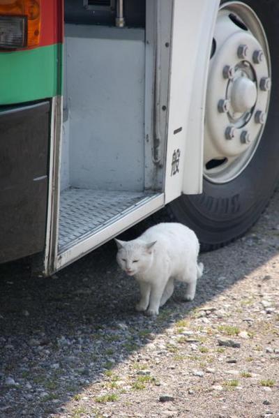 日本唯一。その1 白ネコ