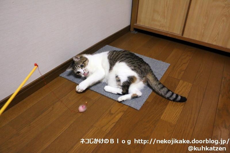2020061104猫釣り。1