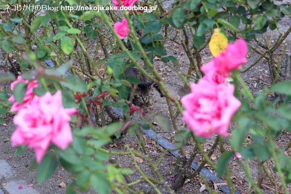 2016073006薔薇と猫。3