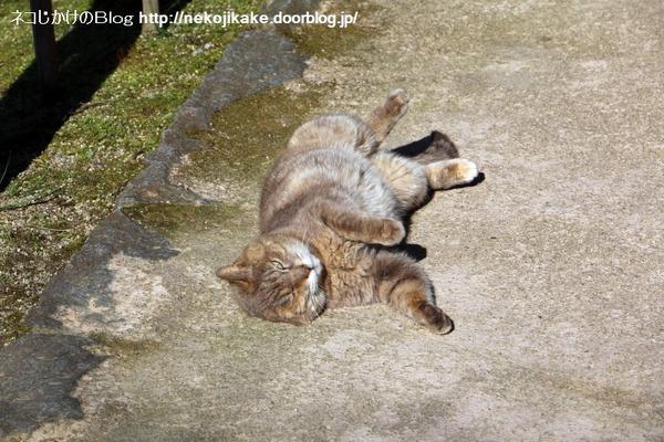 2016031503寝転ぶ猫。2