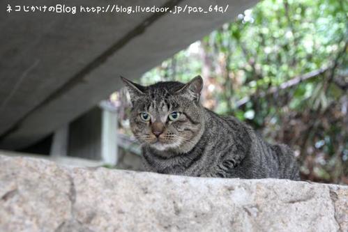 私も猫ストーカー。その1 キジトラボス