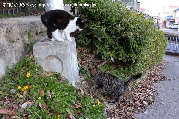 2016022812キジトラと白黒ネコ。1