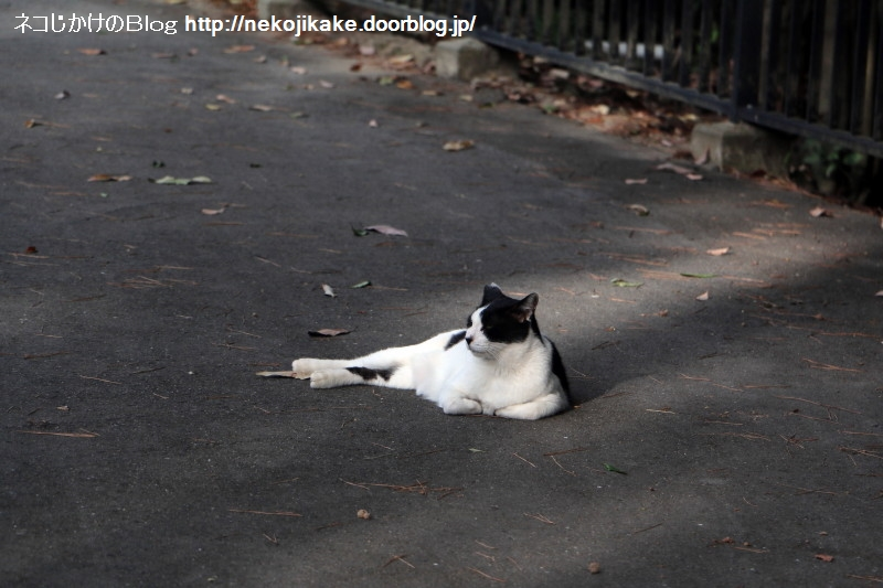2018081303道路の真ん中に猫が寝転んでいた。