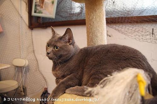 キャッテリアクラウドナインのネコ、もも。