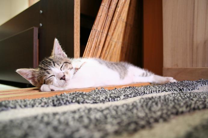 あち〜、だり〜。寝よっ! シマ