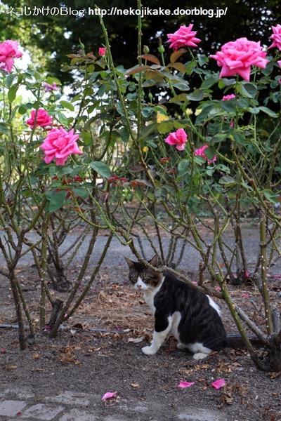 2016073005薔薇と猫。2