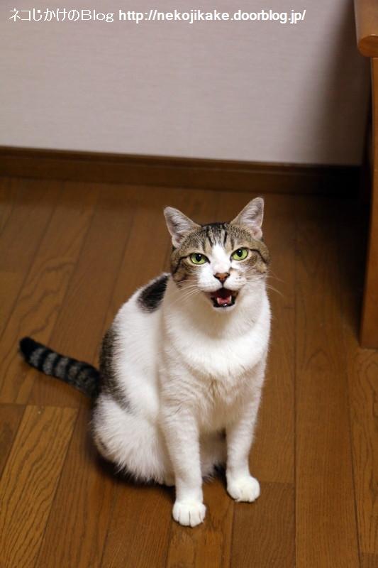 2017081702鳴く猫が好きだ。2