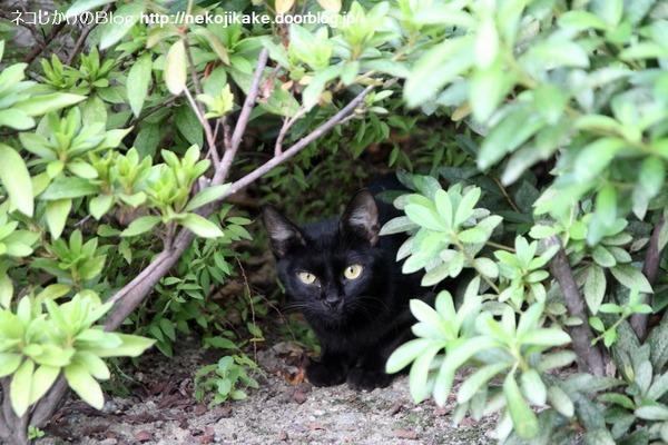 2014092205黒ネコさんには手を触れないでください。