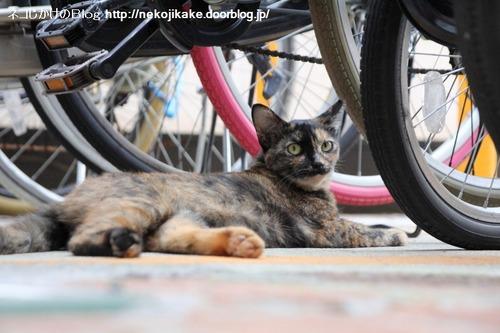 2013081602駐輪所のネコ。