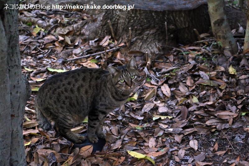 2016103007枯葉に足を踏み入れたくない猫。