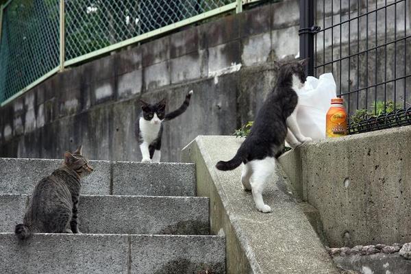 子ネコたち。その3 猫先輩 ハチワレ子ネコ2匹