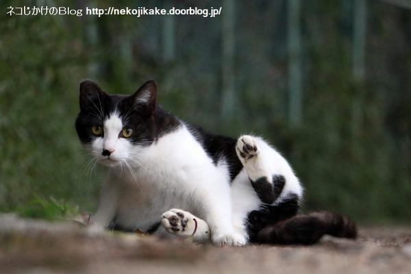 2016013015白黒の子猫。2