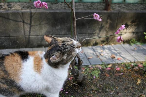 梅は咲いたか。 さいちゃん