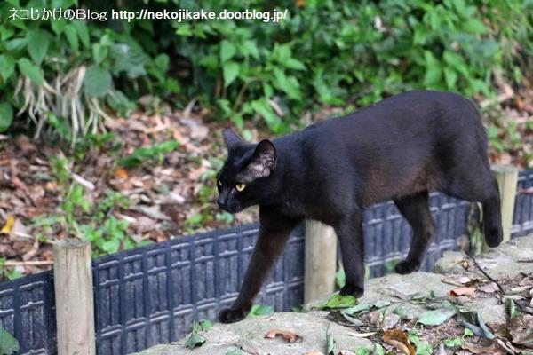 2016070518黒ネコのマーチ。1